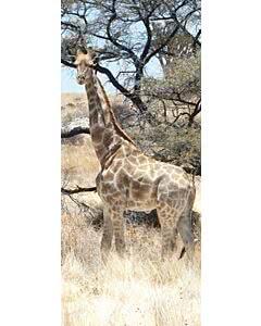 Türplane Giraffe